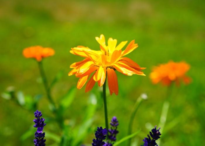 Natur wirkt - Ringelblume