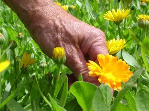 Hand mit Ringelblume